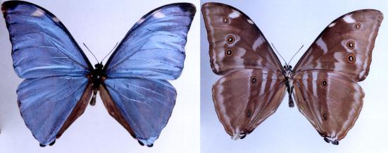 Morpho eugenia (Deyrolle, 1860)
