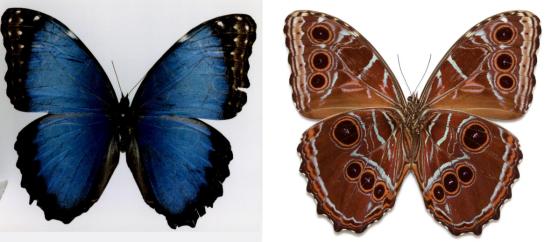 Morpho granadensis (Felder and Felder, 1867)