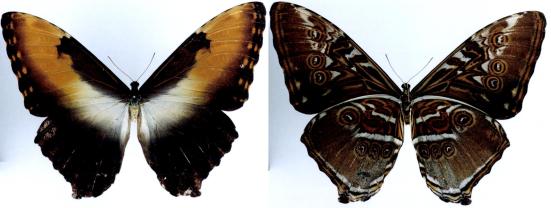 Morpho hecuba (Linnaeus, 1771)