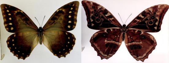 Morpho hercules (Dalman, 1823)