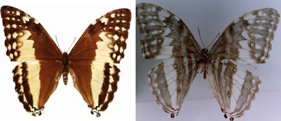 Morpho marcus (Schaller , 1785)