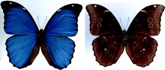 Morpho menelaus (Linnaeus, 1758)