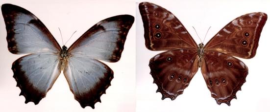 Morpho niepelti (Röber, 1927)