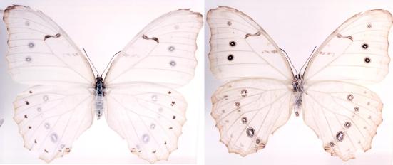 Morpho polyphemus (Westwood, 1850)