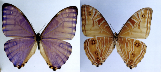 Morpho rhodopteron (Godman & Salvin, 1880)