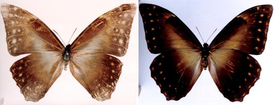 Morpho richardus (Fruhstorfer, 1898)