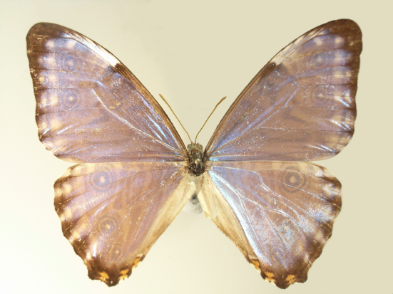 Morpho thamyris (C. & R. Felder, 1867)