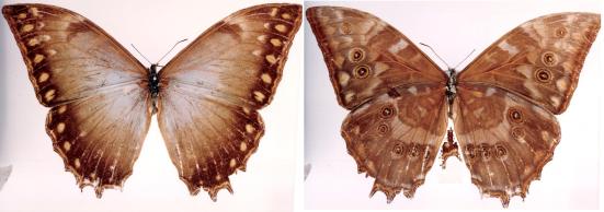 Morpho theseus (Deyrolle, 1860)