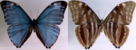 Morpho uraneis (Bates, 1865)