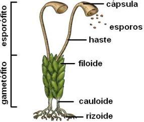 Esquema briofita