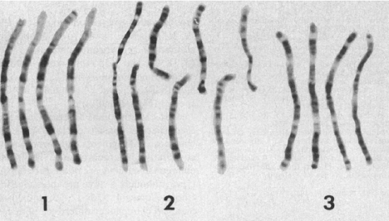 1-3 cromossomos em humanos, chimpanzés, gorilas e orangotangos. De Yunis & Prakash, Ciência, 1982. Reproduzido com permissão da AAAS.