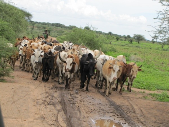 Um pastor de gado leva seus animais na Tanzânia. O estudo ligada a propagação de pastoreio com a capacidade de digerir leite.