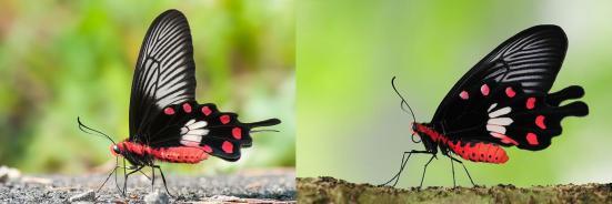 A esquerda Papilio polytes e a direita Pachliopta aristolochiae