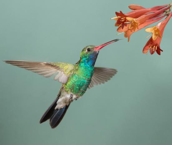 """Homem beija-flor-de-bico largo com flores (imagem estoque). Parte do segredo para os pássaros """"notável sucesso reside na formação de nove grupos principais ou clades, beija-flores"""" relação única de plantas com flores, e continuou disseminação para novas áreas geográficas das aves, dizem os pesquisadores."""