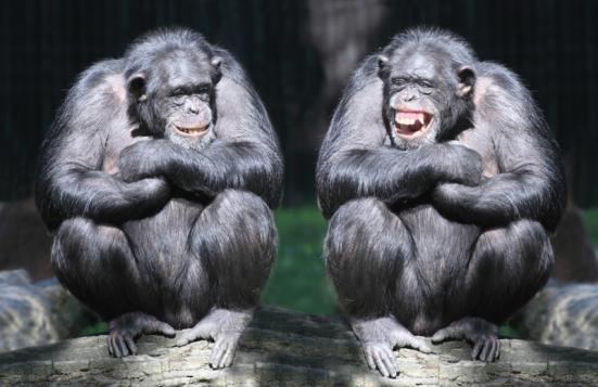 Chimpanzés têm quase as mesmas características de personalidade como seres humanos, e eles são estruturados de forma quase idêntica. Crédito: © Kletr / Fotolia