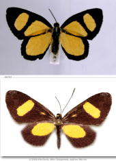 C. cercides e C. cydonia