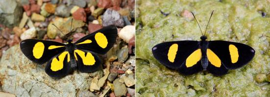 Variações de Chamaelimnas briola briola no Peru