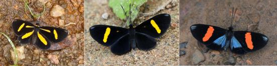 C. Joviana, C. tircis e C. splendens