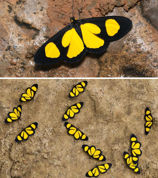 Mariposas Geometridae semelhantes a Chamaelimnas; Atyriodes figulatum e panapaná de Atyriodes janeira