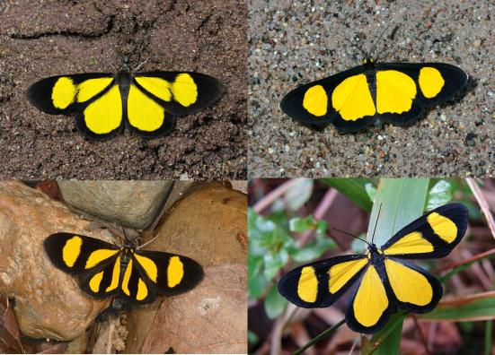 Mariposas Geometridae semelhantes a Chamaelimnas; Cyllopoda expansifascia, Cyllopoda jatropharia, Cyllopoda claudicula e Cyllopoda latiflava