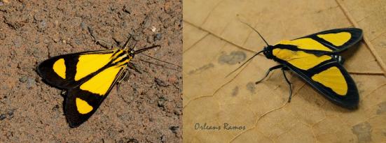 Myonia regis (Notodontidae) e Xanthoarctia pseudameoides (Arctiidae)
