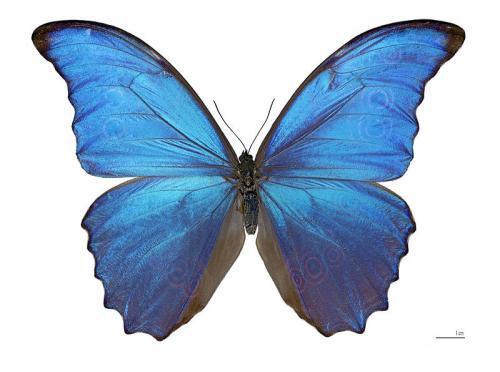 Morpho didius - espécime do Museu. Crédito: Wikipedia