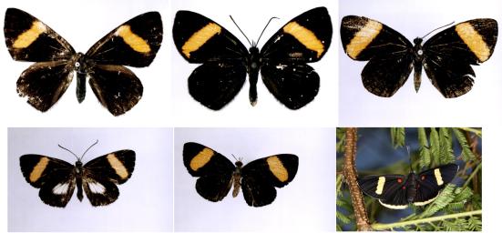Setabis buckley, velutina, phaedon, pythioides, lagus e Melanis leucophlegma fazem mimetismo com Chamaelimnas joviana e C. tircis