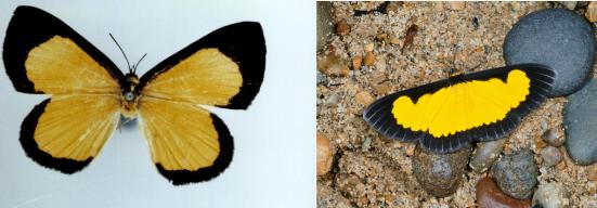 Setabis preciosa e mariposa Xanthiris flaveolata (Geometridae) semelhante a Chamaelimnas cercides