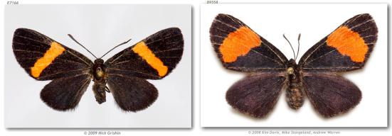 Xenandra nigrivenata e Xenandra helius mimetizam Chamaelimnas joviana e C. tircis