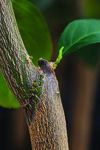 Cicatriz do enxerto: limão-cravo serve de cavalo para laranjeiras