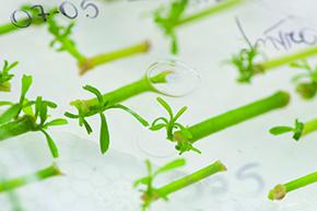 Germinação em laboratório: variações genéticas controladas