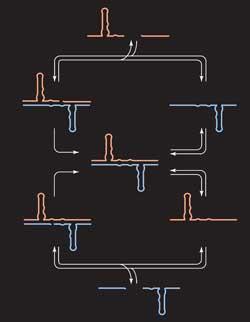A dupla de RNA (um vermelho, um azul) Modelo de síntese de cada um  © Ciência