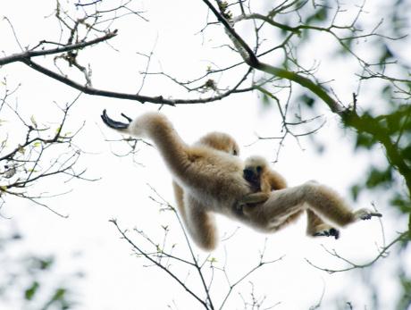 bracejador consiste de uma série de movimentos oscilatórios do animal que, em seguida, inicia a partir de uma ramificação para outra. Desta forma, os gibões são capazes de mover-se através da floresta a uma velocidade superior a 50 km por hora. (Cortesia Heather Angel / Natural Visions)