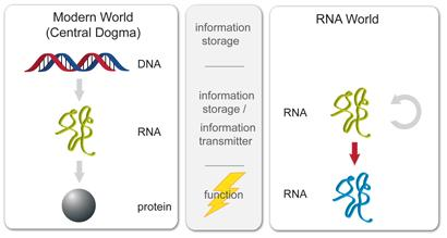 RNA-World: RNA teria feito os trabalhos que proteínas e DNA fazer hoje  © Conselho de Pesquisa Médica