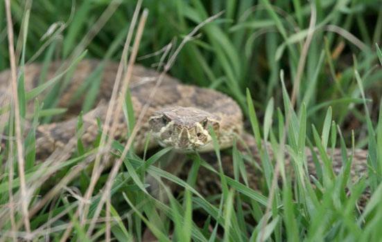 Informações sobre onde a forragem, o que presa a seleccionar, e como lidar com a presa após marcante é provavelmente inata em espécies como esta.  © 2010 Nature Education Cortesia de Jeff Mitton.
