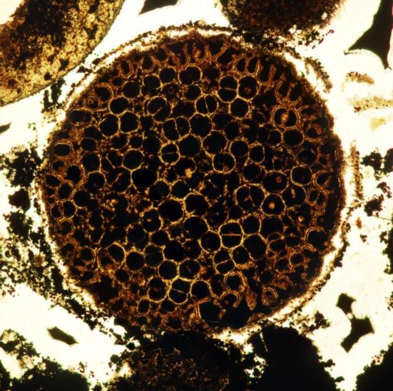 Uma amostra com divisórias duplas multicelulares no interior e ligeiramente alongados células na periferia. Espécime cerca de 0,8 mm de diâmetro. Crédito: Lei Chen Xiao e Shuhai
