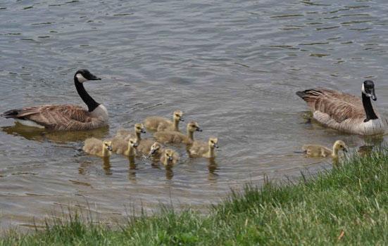 A família ganso Canadá  Imprinting pelos ganso sobre seus pais ajuda a manter a família unida.  © 2010 Nature Education Cortesia de Michael Breed.