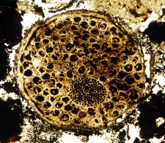 Um espécime multicelulares com matryoshka, que é uma estrutura crescente elipsoidal Dentro da amostra. Espécime de cerca de 0,7 mm de diâmetro. Crédito: Lei Chen Xiao e Shuhai
