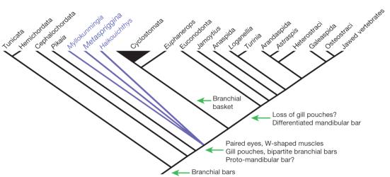 Cladogram com restrição de backbone para cyclostome monophyly, e usando índices de consistência escalonados, mostrando a posição de Metaspriggina como parte basal de ramificação vertebrados de corpo mole. É indicada a origem ea possível perda de estruturas-chave vertebrados.
