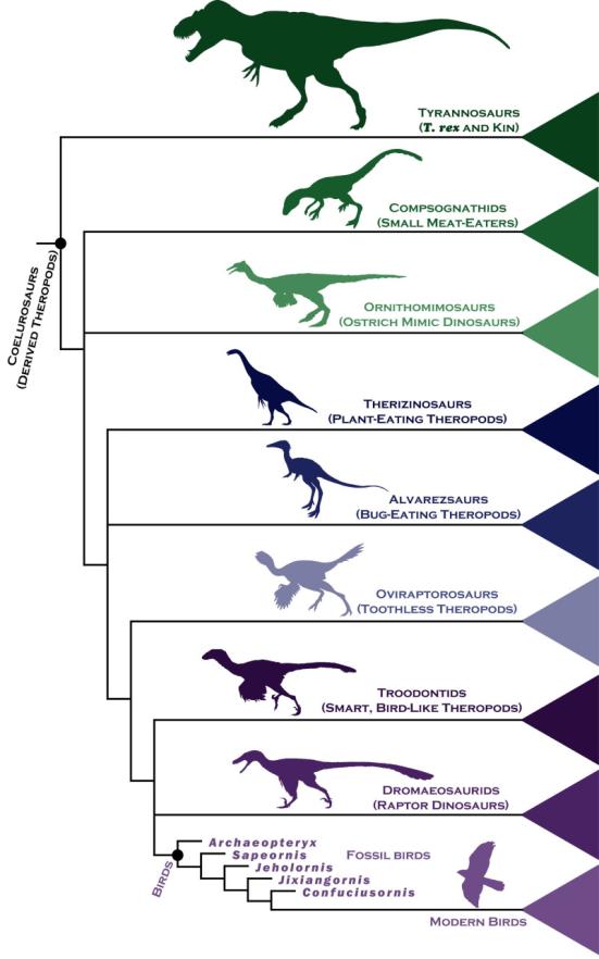 Os pesquisadores examinaram as ligações evolutivas entre aves antigas e seus parentes mais próximos dos dinossauros, por meio da análise anatômica make-up de mais de 850 funções corporais em 150 espécies extintas, e usou técnicas estatísticas para analisar seus resultados e montar uma árvore genealógica detalhada.  Crédito: Steve Brusatte