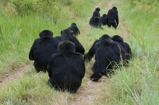 Assassinatos ocorrem frequentemente durante as patrulhas de fronteira territorial, onde os machos procuram ativamente outros chimpanzés em territórios vizinhos. Aqui os homens Ngogo ouvir vizinhos que ouviram ao longe.  Crédito: Cortesia da imagem de John Mitani