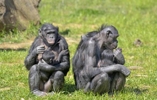 Bonobos. Researchers studying young bonobos in an African sanctuary have discovered striking similarities between the emotional development of the bonobos and that of children, suggesting these great apes regulate their emotions in a human-like way. Credit: © Pascal Martin / Fotolia