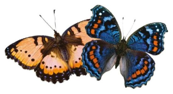 Plasticidade: borboletas comodoro surgem com cores diferentes em épocas de seca (esquerda) e molhadas.