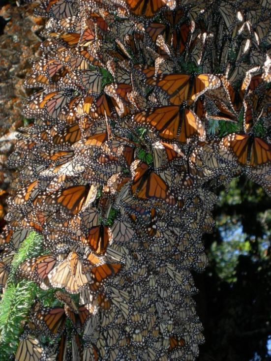 Monarchs se agrupam para o calor em um site hibernação mexicana. Crédito: Jaap de Roode