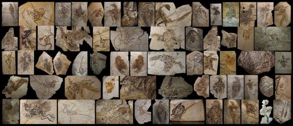Estes fósseis encontrados no nordeste da China mostram a diversidade e pequenos tamanhos de alguns dos dinossauros com penas. Muitos traços de aves evoluíram de dinossauros muito antes de as aves se apareceram.  FOTOGRAFIA DE ROBERT CLARK, fósseis, do Instituto de Paleontologia de Vertebrados E paleoantropologia, BEIJING; Shandong Tianyu Museu da Natureza