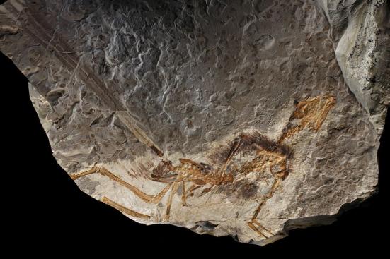 Epidexipteryx é o primeiro exemplo no registro fóssil de um dinossauro exibindo penas para exibição.  FOTOGRAFIA DE ROBERT CLARK, NATIONAL GEOGRAPHIC CREATIVE