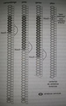 Expressão do gene HoxC6 em diferentes animais determinando a divisão das vertebras