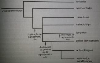Duplicação de genes Hox