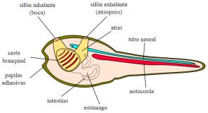 Larva de Ascidia