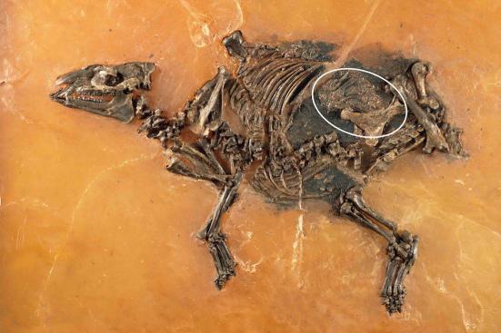 Uma égua grávida de 47 milhões de anos de idade, a partir de Messel, na Alemanha, diz pesquisadores como início de cavalos realizadas seus potros. Crédito: Sven Tränkner | Senckenberg Research Institute Frankfurt